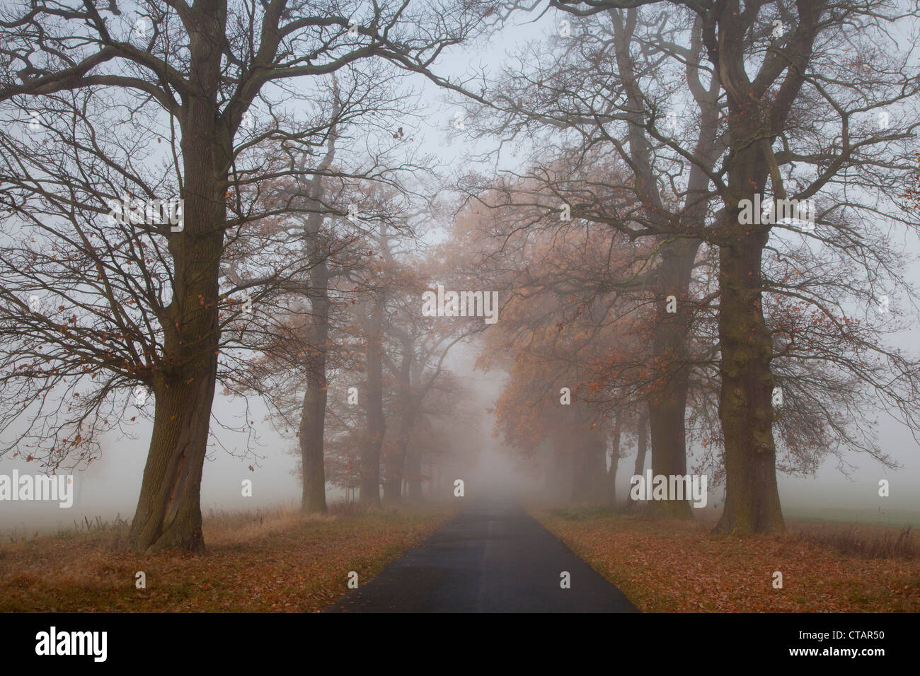 Autumnal oak alley in the fog, Hofgeismar, Hesse, Germany, Europe - Stock Image