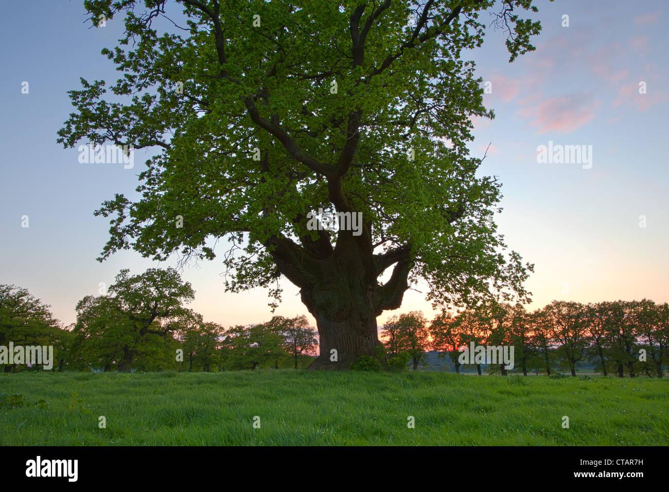 Old oak tree at sunset, Reinhardswald, Hesse, Germany, Europe - Stock Image