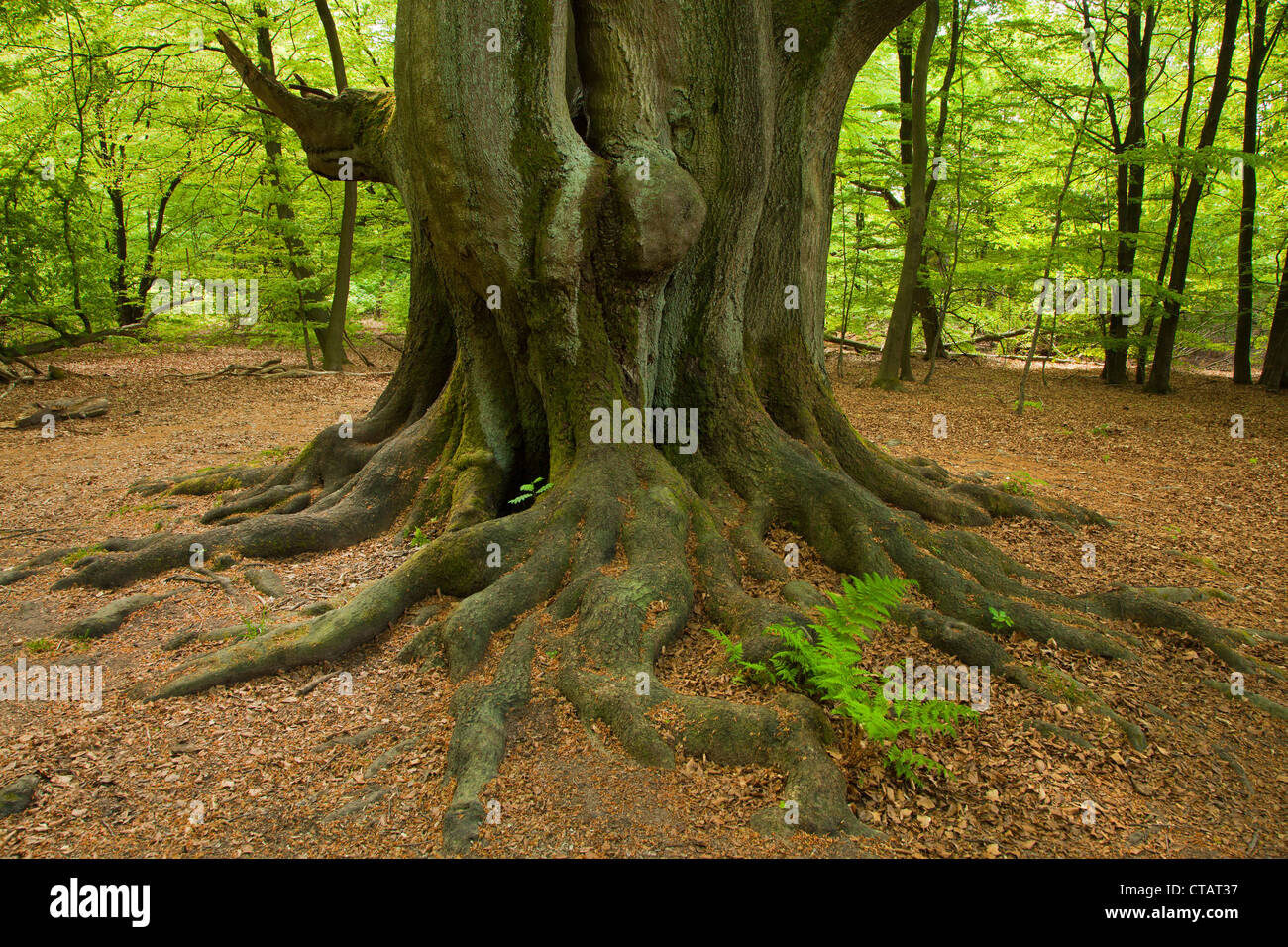 Fern between the roots of an old beech, nature reserve Urwald Sababurg, Reinhardswald, Hesse, Germany, Europe - Stock Image