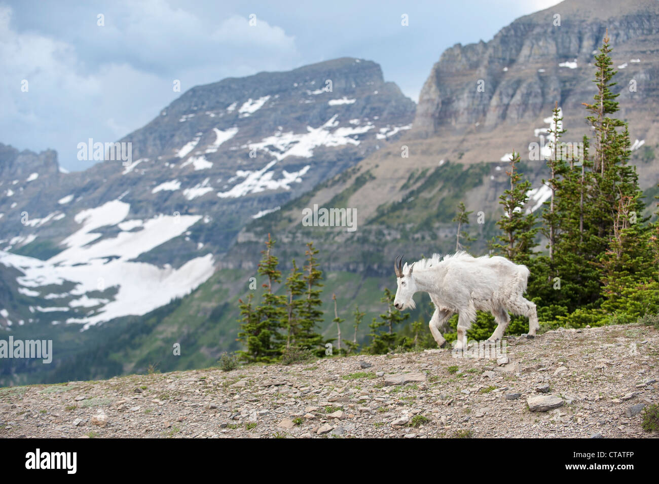 A mountain goat walks in front of the Garden Wall in Glacier National Park. - Stock Image