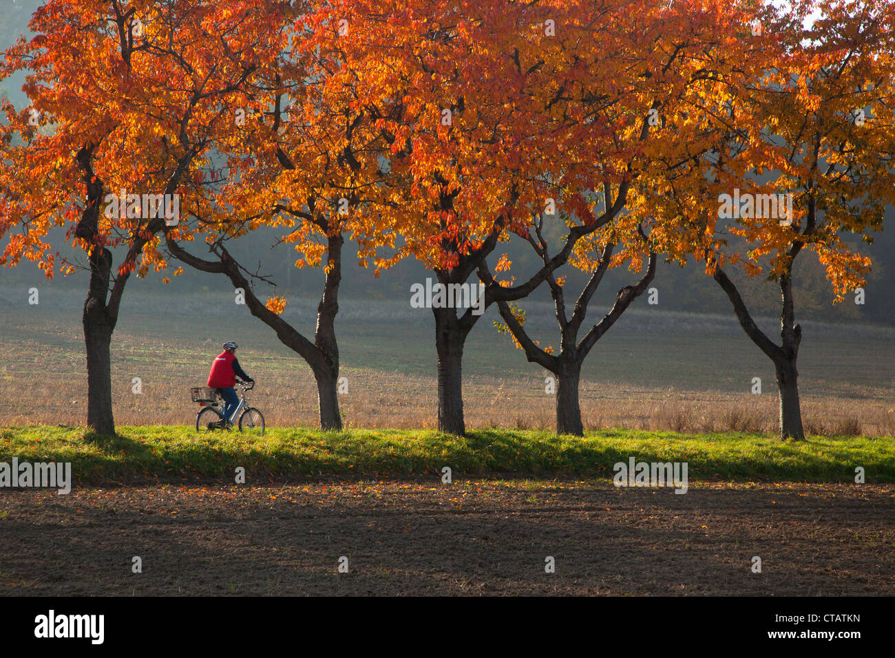 Cyclist on an alley of cherry trees in autumn colours, near Blankenburg, Harz mountains, Saxony-Anhalt, Germany, - Stock Image
