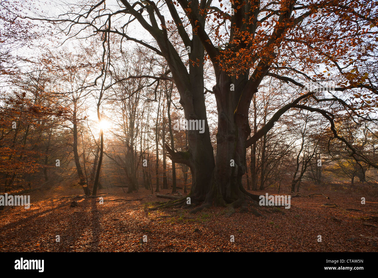 Autumnal forest with old beech tree at nature reserve Urwald Sababurg, Reinhardswald, Hesse, Germany, Europe - Stock Image