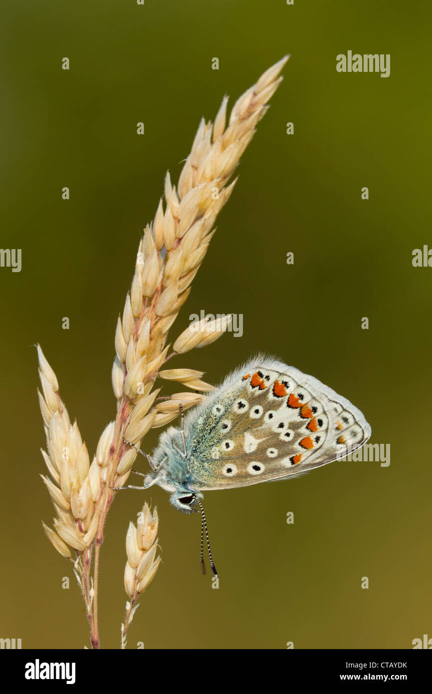 Common Blue Polyommatus icarus female perched on grass at Arnside Knott, Cumbria in July. - Stock Image