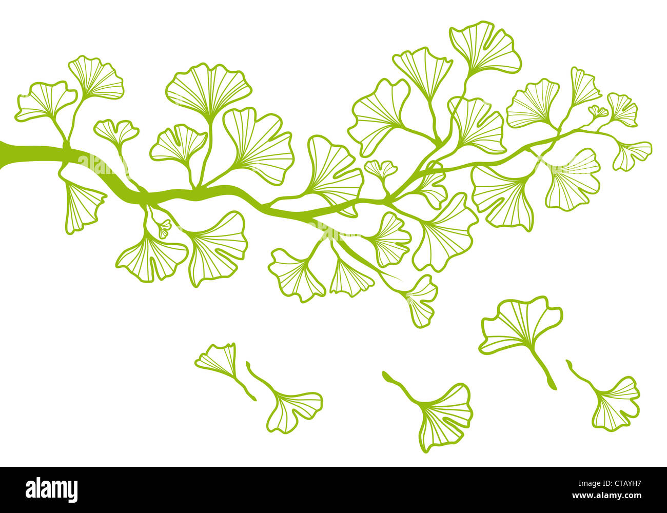 Ginkgo Branch Stock Photos & Ginkgo Branch Stock Images - Alamy