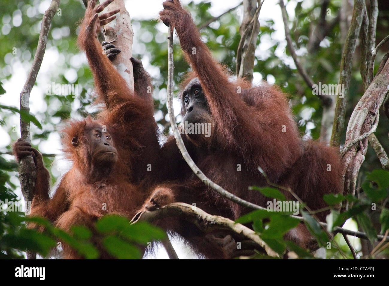 Orang Utans at the Gunung Leuser National Park near Bukit Lawang, Island of Sumatra, Indonesia, Southeast Asia Stock Photo