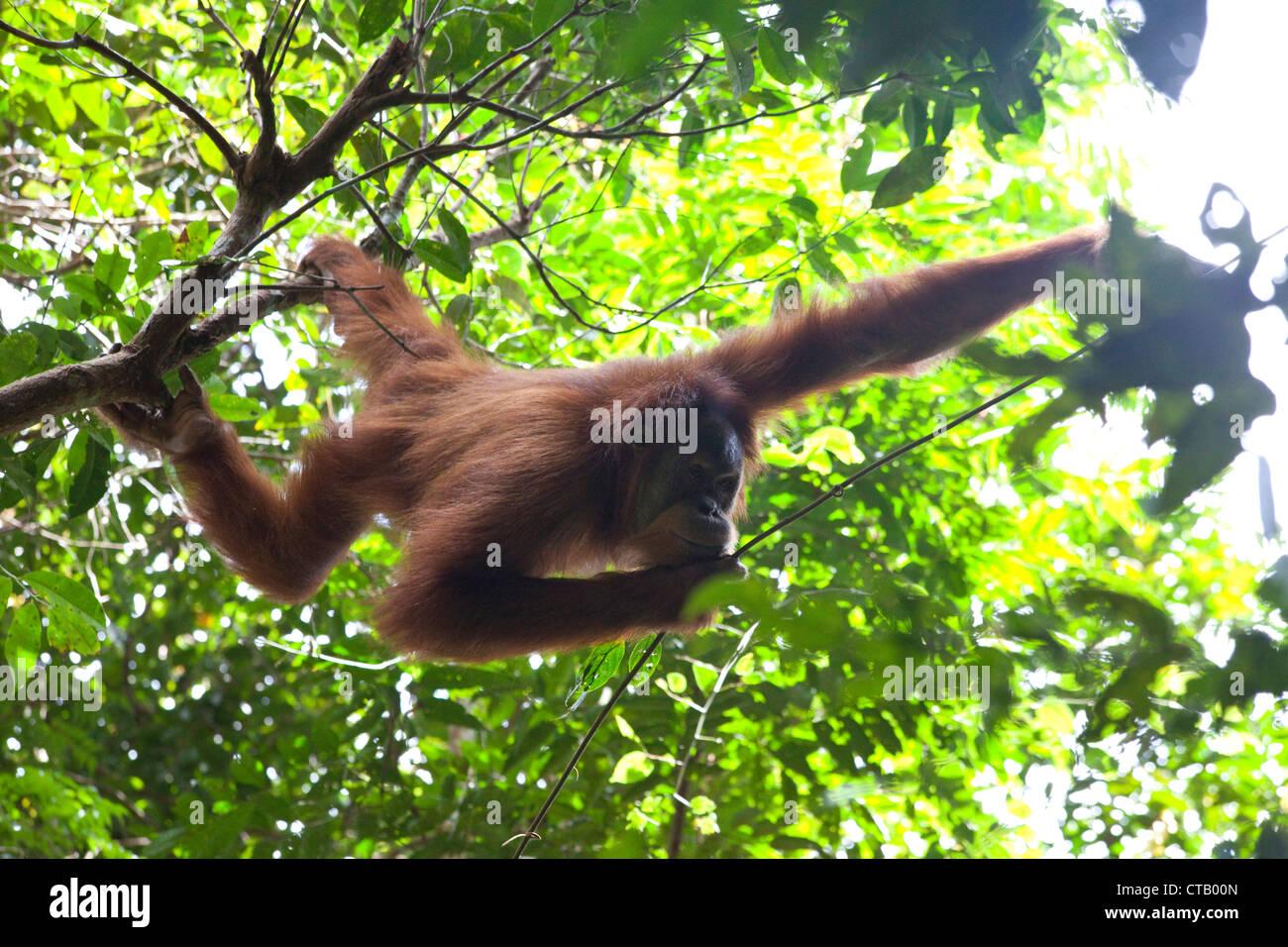 Orang Utan at the Gunung Leuser National Park near Bukit Lawang, Island of Sumatra, Indonesia, Southeast Asia Stock Photo
