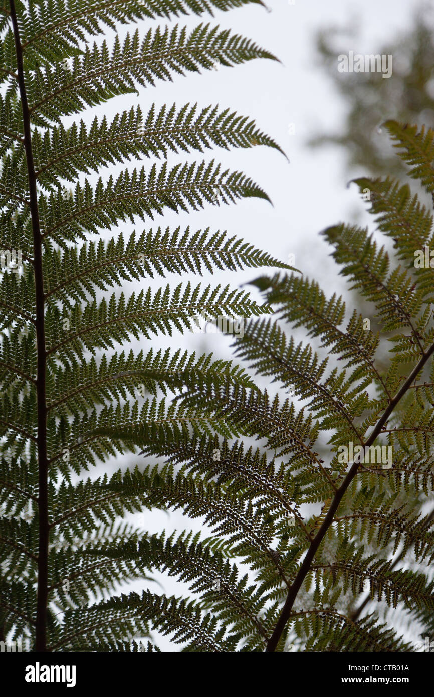 Detail of fern - primeval temperate rain forest, South Island of New Zealand - Stock Image