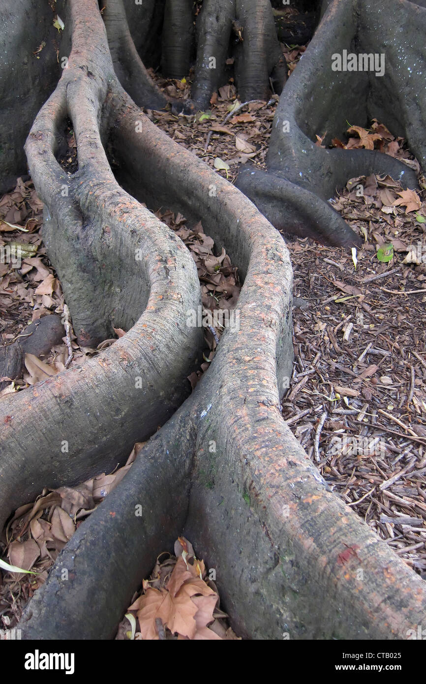 Fig tree roots, Devenport, Auckland, New Zealand 3 - Stock Image