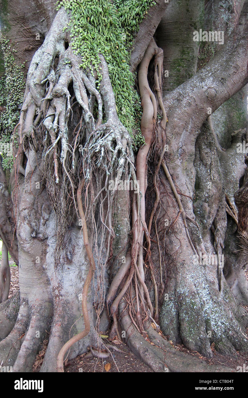 Fig tree roots, Devenport, Auckland, New Zealand 2 - Stock Image