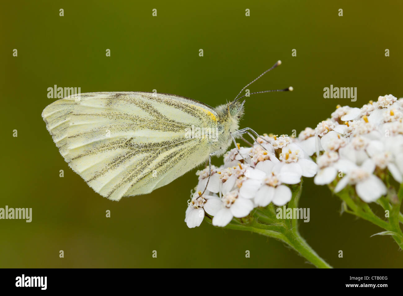 Green-veined White Pieris napi female perched on Yarrow at Barkbooth Lot, Cumbria in July. - Stock Image