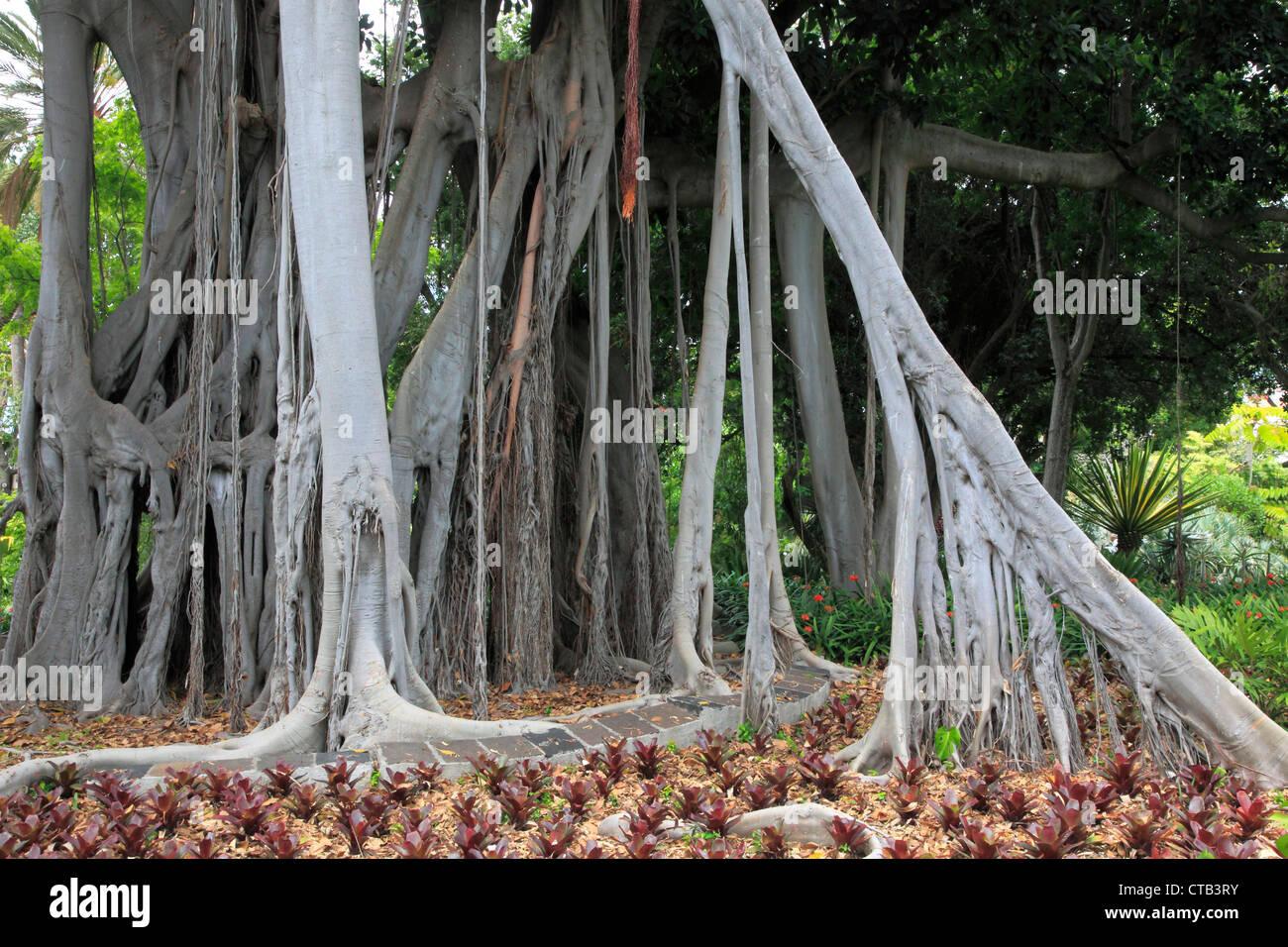 Spain, Canary Islands, Tenerife, Lord Howe's fig tree, ficus macrophylla columnaris, - Stock Image