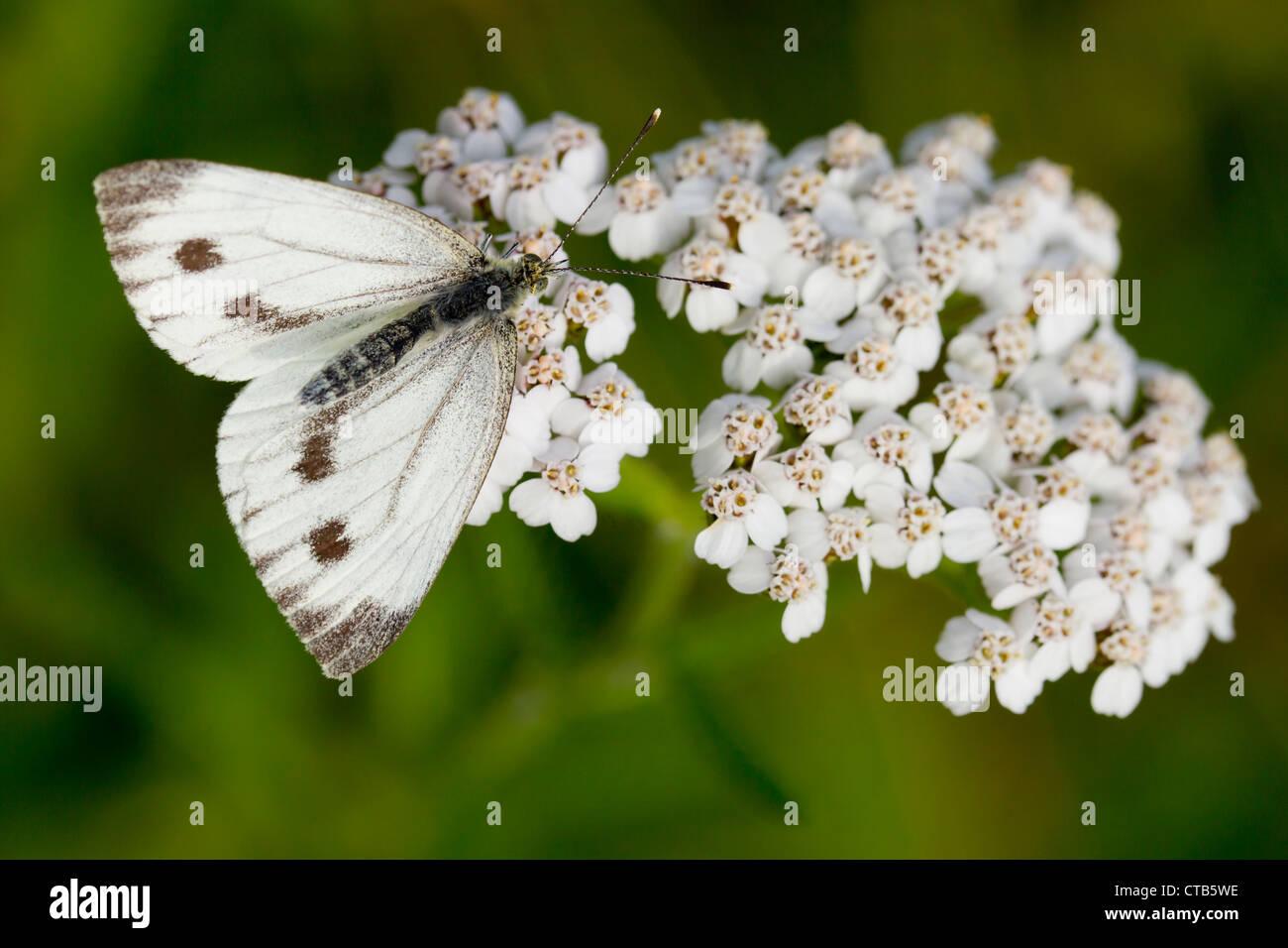 Green-veined White Pieris napi female nectaring on Yarrow at Barkbooth Lot, Cumbria in July. - Stock Image