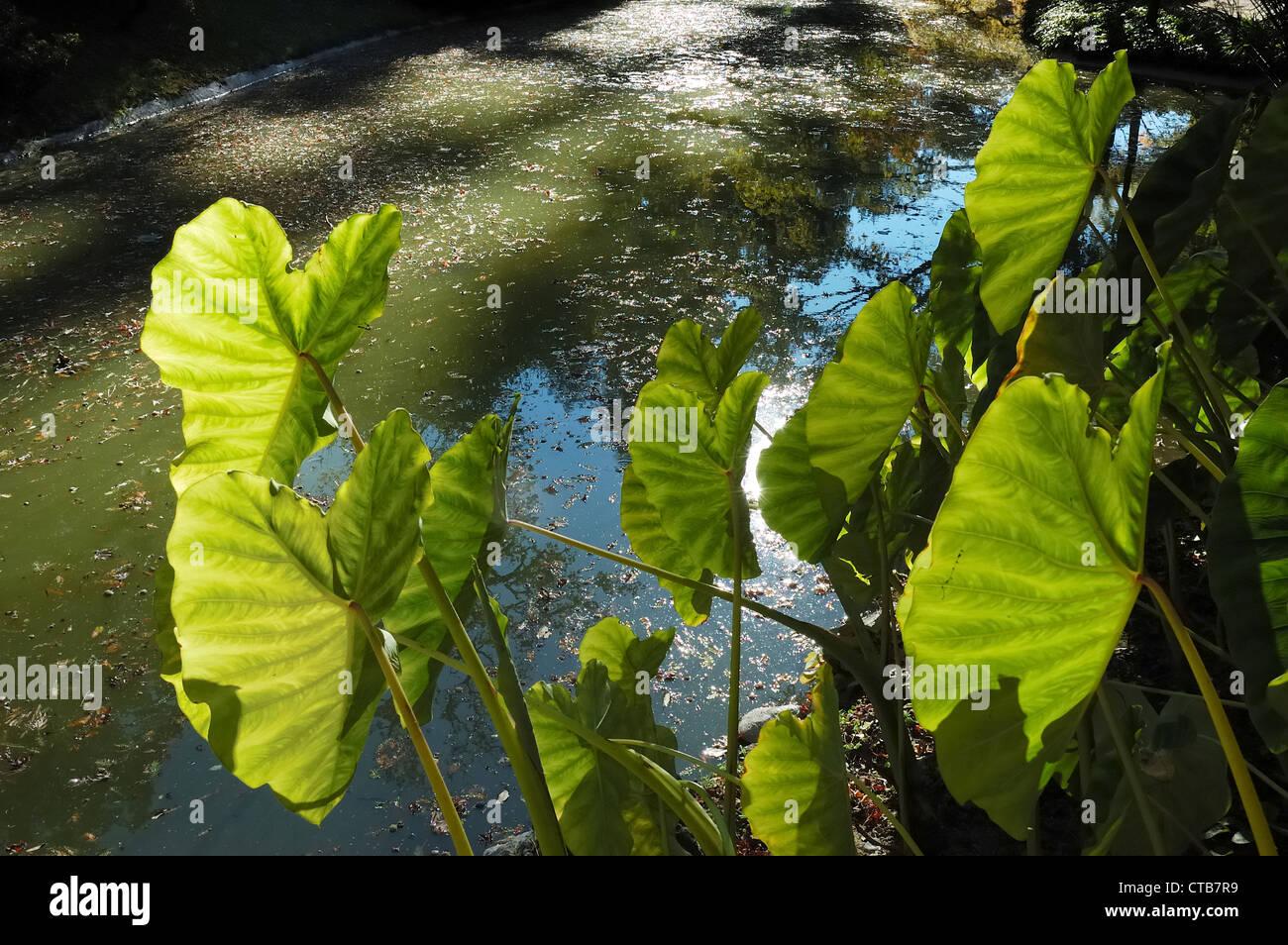 Arum's leafs in a italian garden lake, Como, Italy - Stock Image