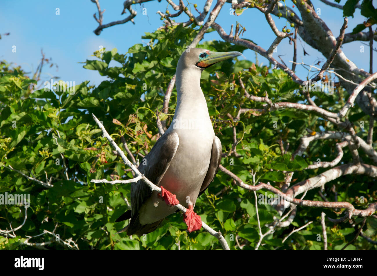 An adult Red-footed Booby (Sula sula) perched on a branch at Prince Philip's Steps, Genovesa Island, Galapagos - Stock Image