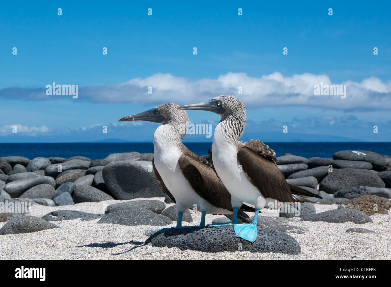 A pair of Blue-footed Boobies (Sula nebouxii) on a beautiful beach on North Seymour Island, Galapagos Islands, Ecuador. - Stock Image