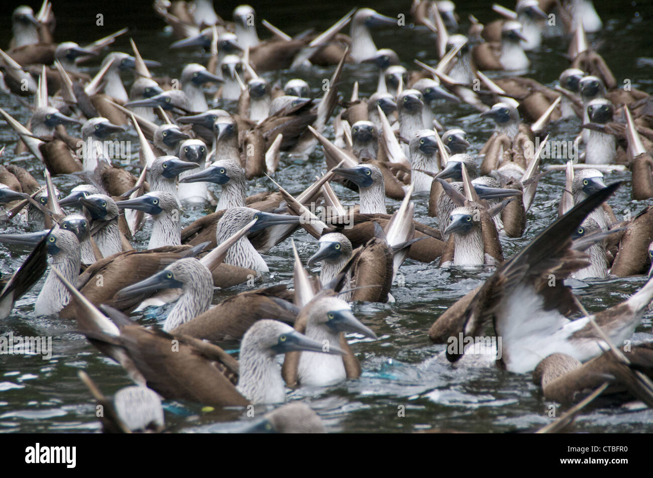 A flock of Blue-footed Boobies (Sula nebouxii) in the midst of a feeding frenzy in a cove off of Santa Cruz, Galapagos - Stock Image