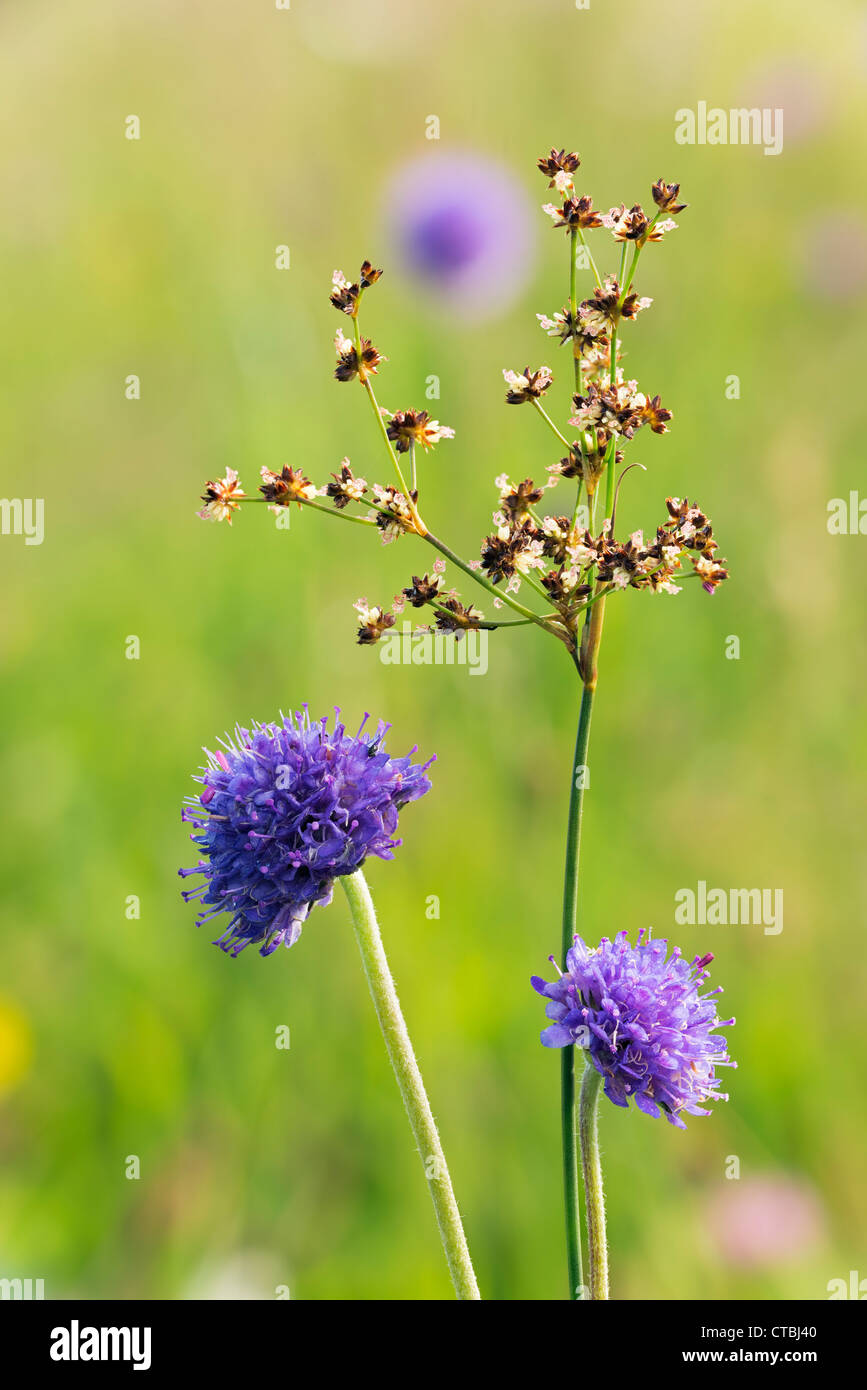 devil's-bit scabious Succisa pratensis and jointed rush Juncus articulatus in a Wiltshire Meadow - Stock Image