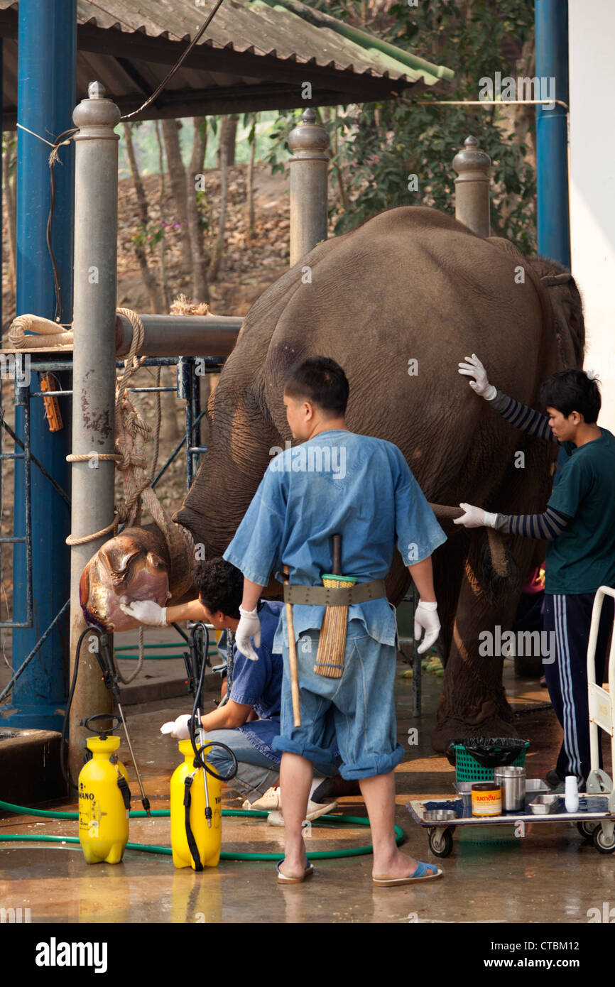 At the Thai elephant conservation Centre, a veterinary surgeon with male nurses treating an elephant badly hurt - Stock Image