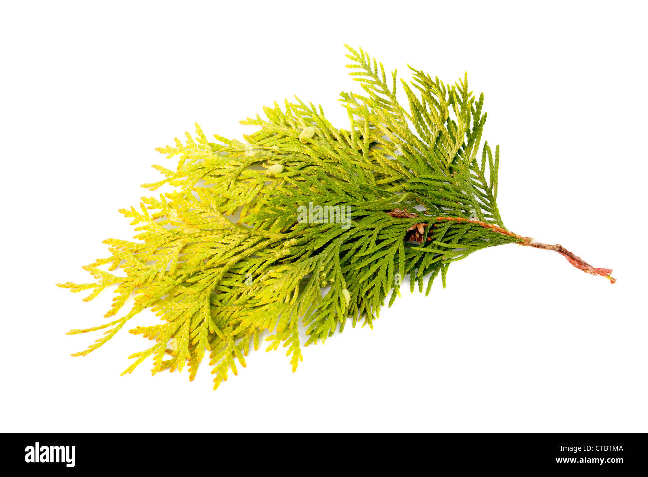 thuya branch on a white background - Stock Image