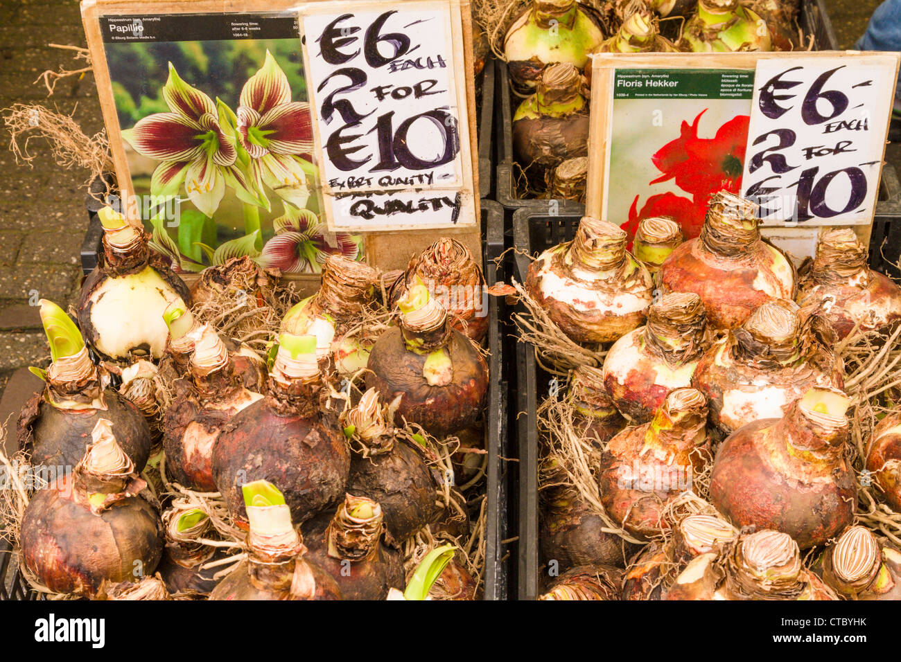 Amaryllis bulbs for sale at Flower market Stock Photo