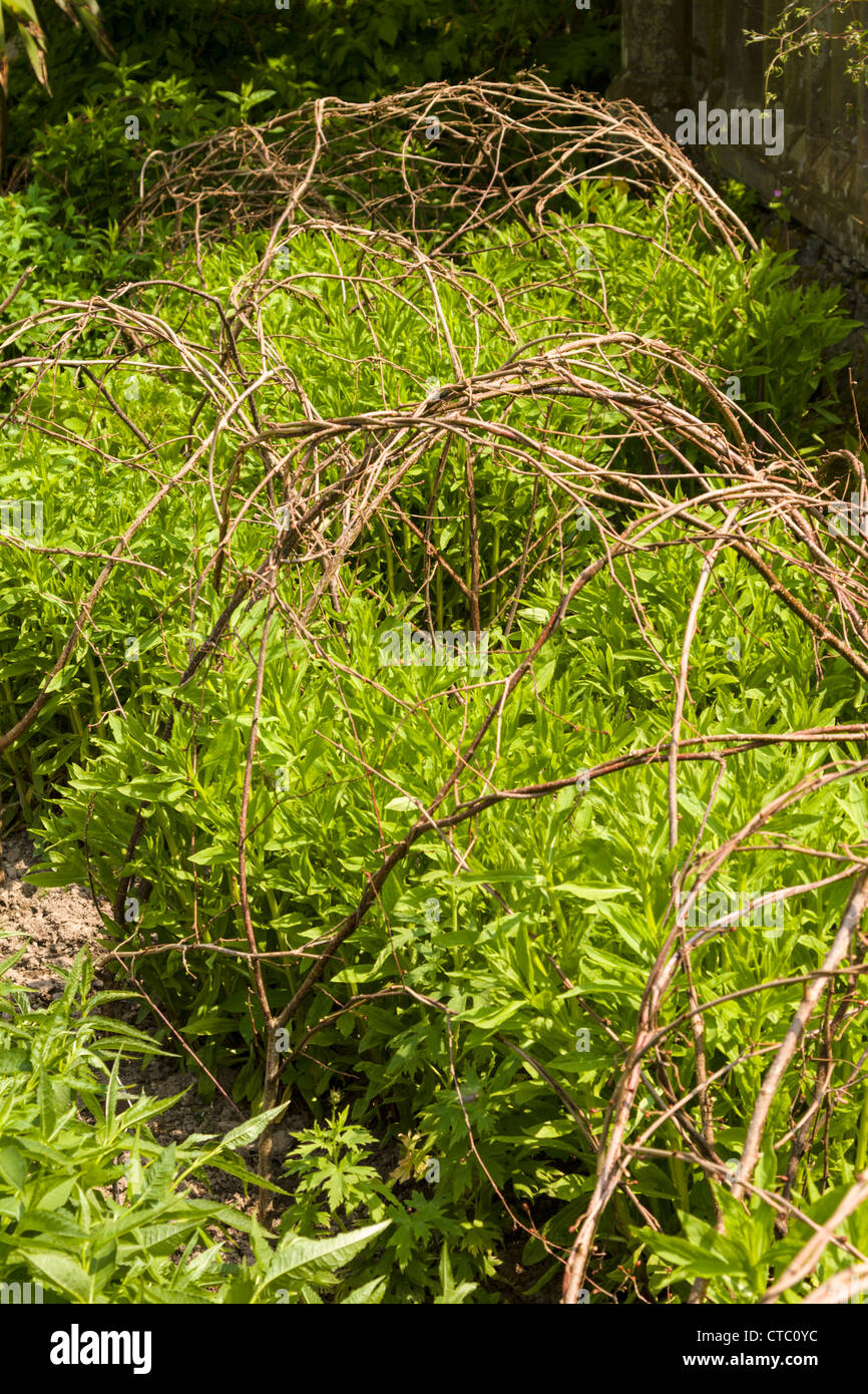 Perennial shrubs with twig supports - Stock Image