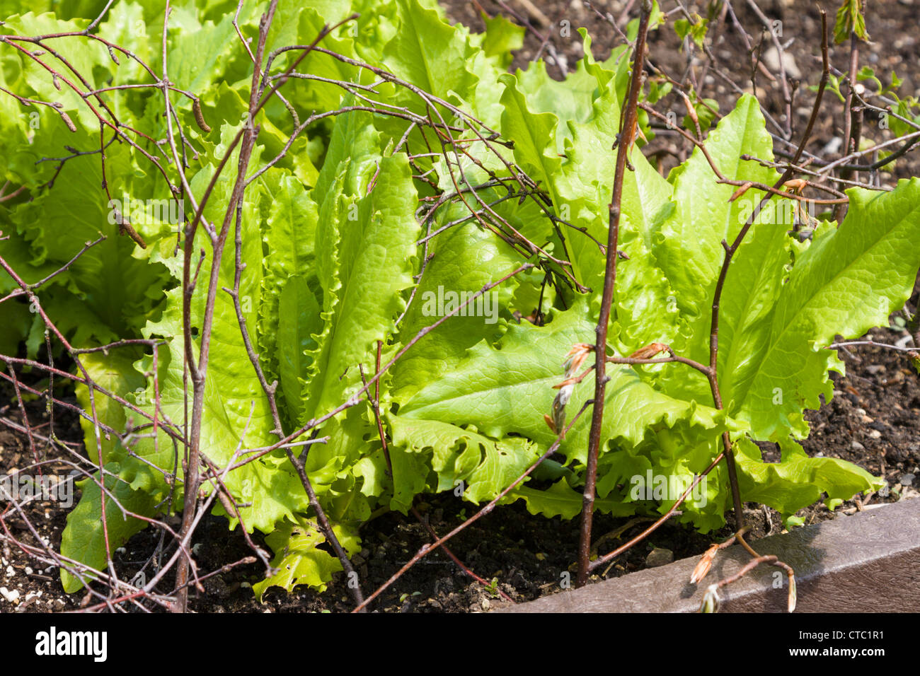 Lettuce being protected from pigeons by twigs - Stock Image