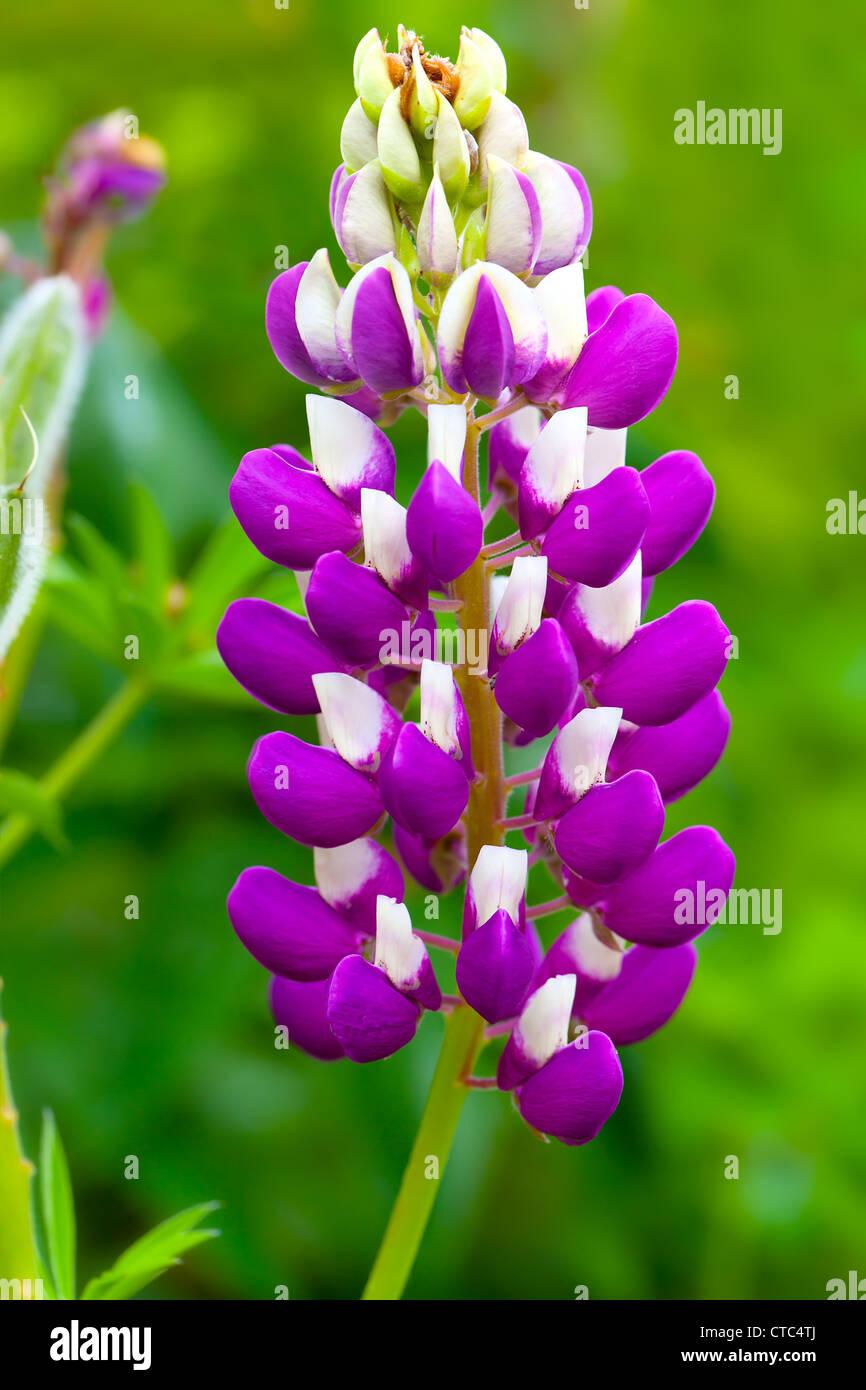macro shot of snapdragon flower ( Antirrhinum) Stock Photo