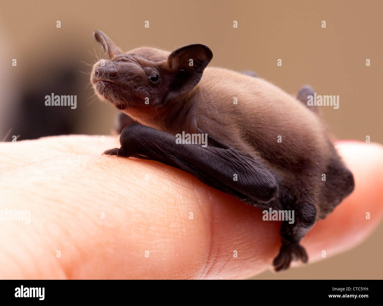 Sweet baby bat on woman finger. - Stock Image