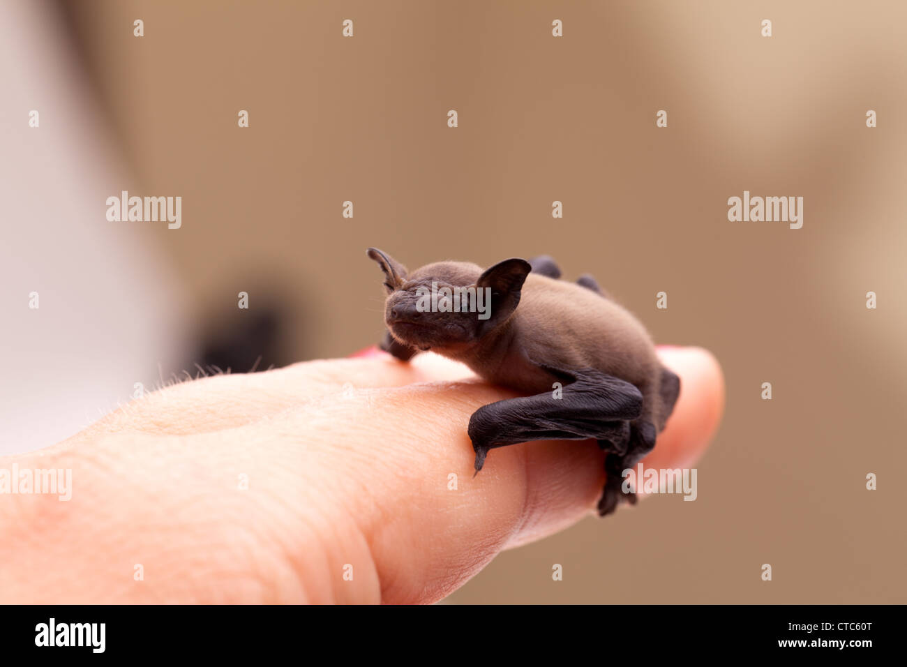 Small baby bat sitting on my finger. - Stock Image