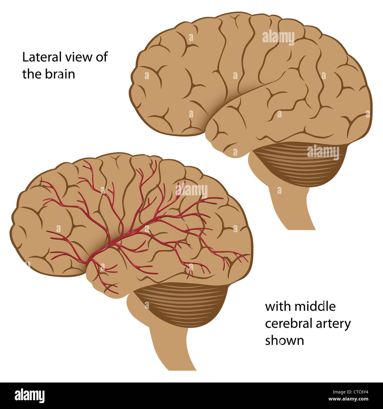 Anatomy Arteries Biology Brain Stock Photos & Anatomy Arteries ...
