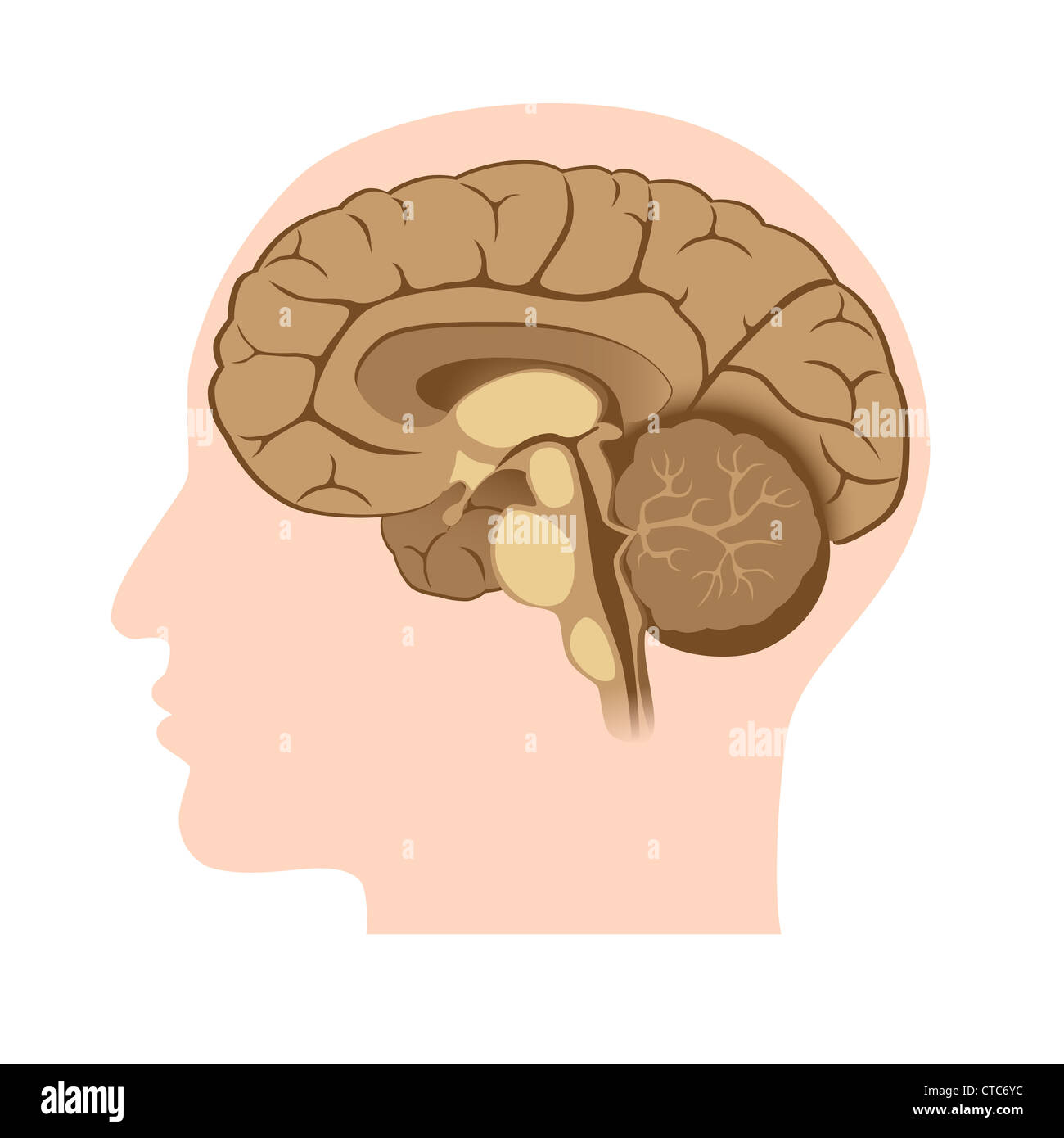 Median Brain Stock Photos & Median Brain Stock Images - Alamy