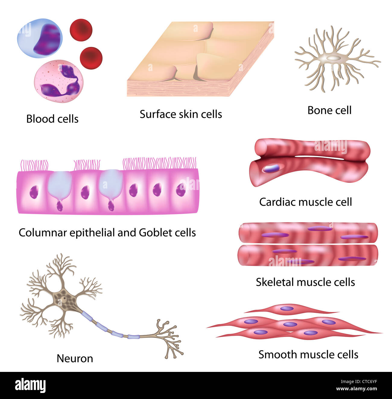 Cardiac Muscle Cell Stock Photos Cardiac Muscle Cell Stock Images