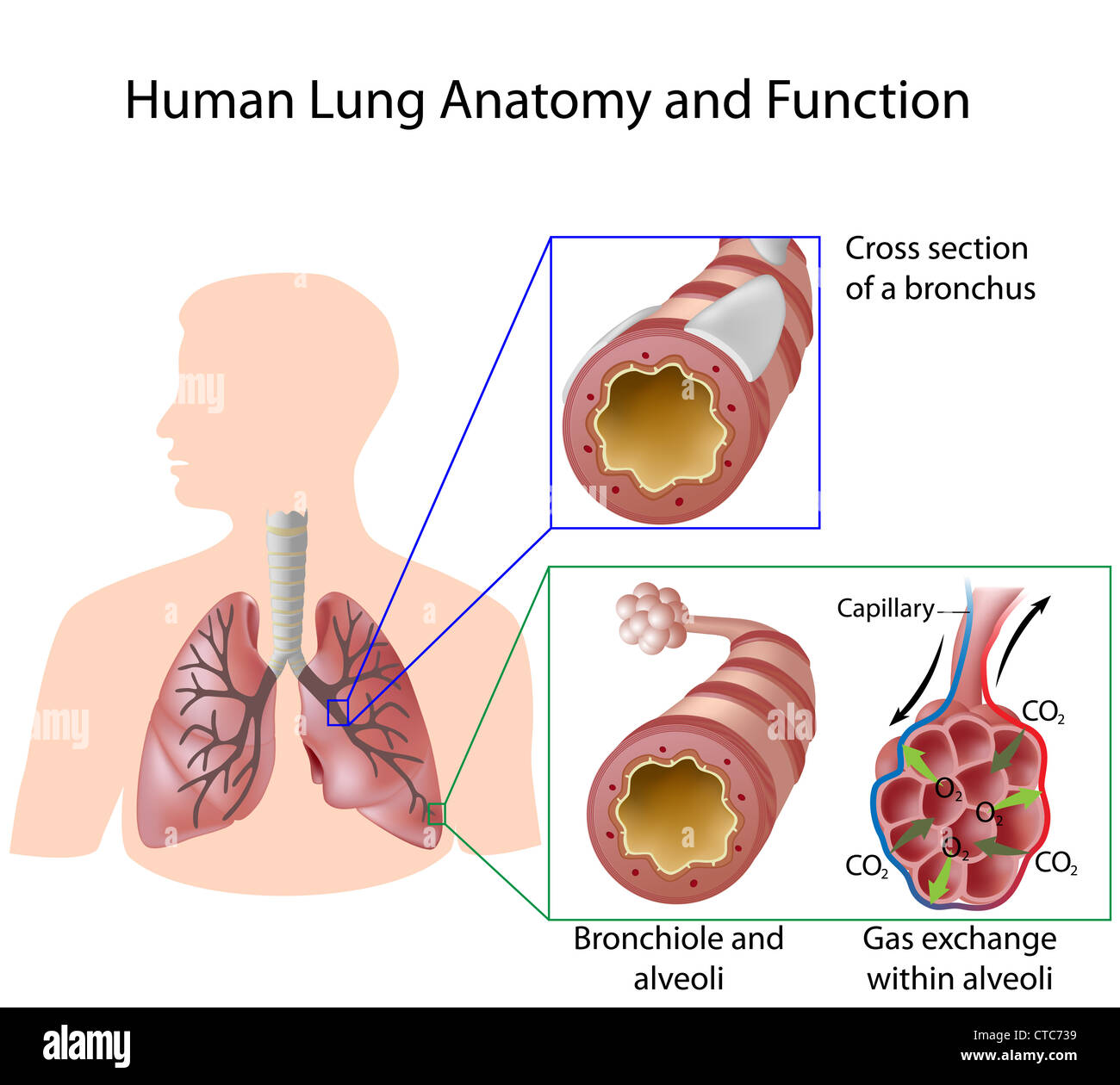 Alveoli Of Lungs Stock Photos Alveoli Of Lungs Stock Images Alamy