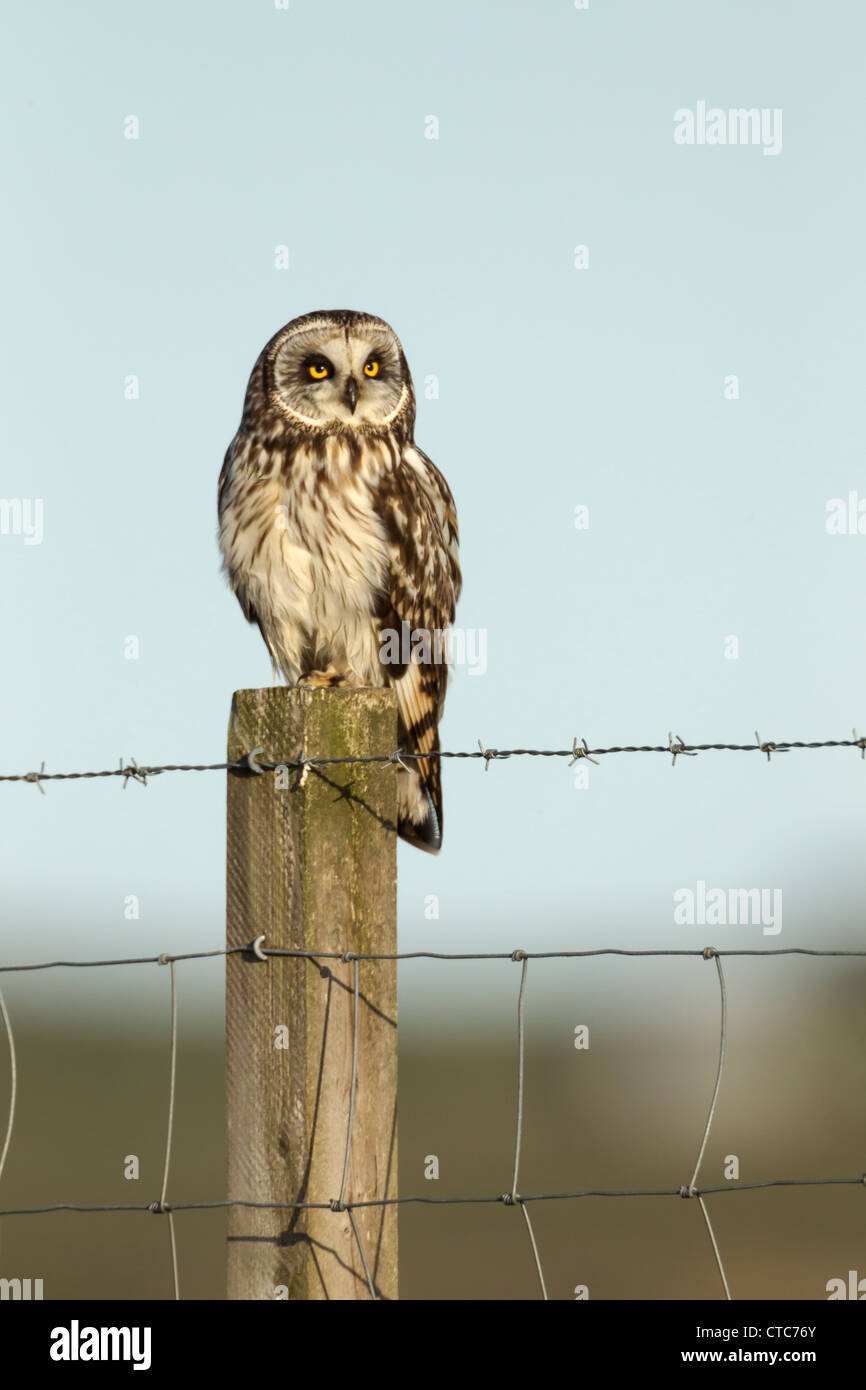 Short eared owl perched on a farm fence in North Uist, Scotland - Stock Image