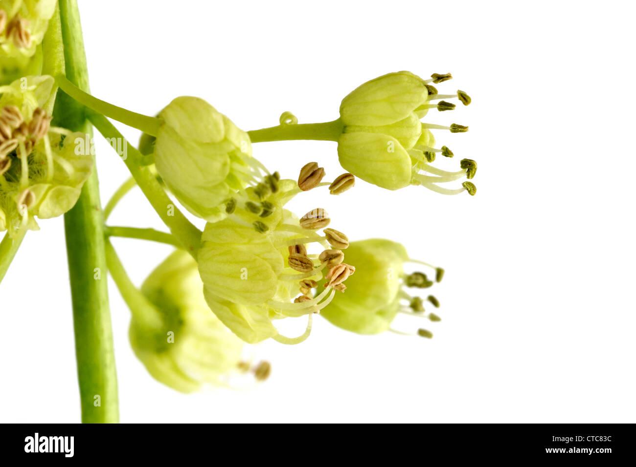 Acer Macrophyllum Leaf