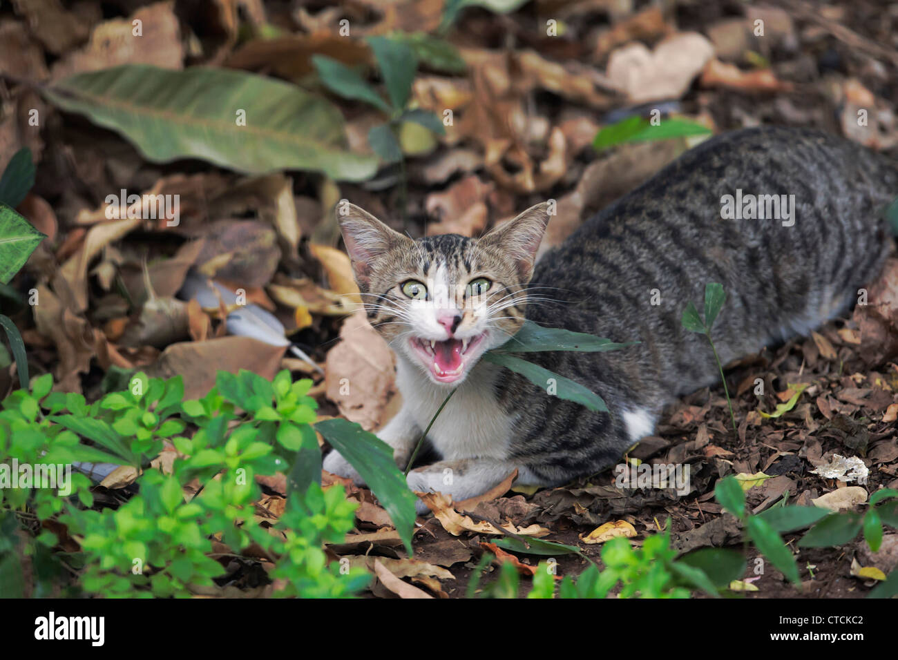 A domestic cat looking angrily at the camera . - Stock Image