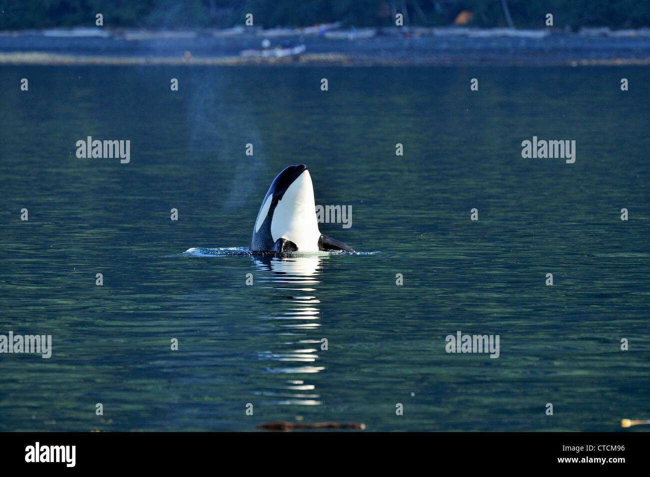Killer whale (Orcinus orca) Spy-hopping Resident pod summer salmon feeding territory, Johnstone Strait, Vancouver - Stock Image