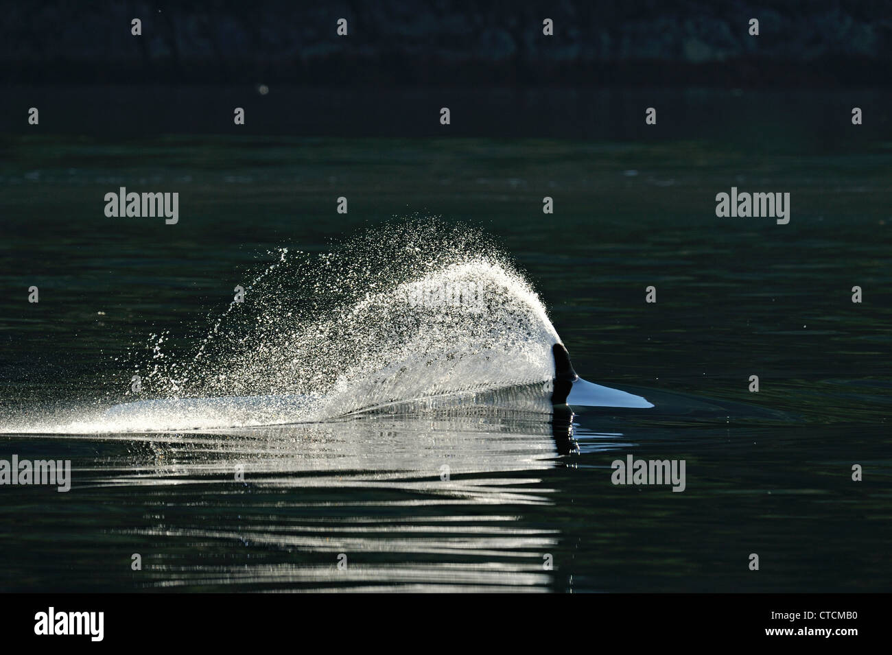 Killer whale (Orcinus orca) Bull Resident pod summer salmon feeding territory, Johnstone Strait, Vancouver Island - Stock Image