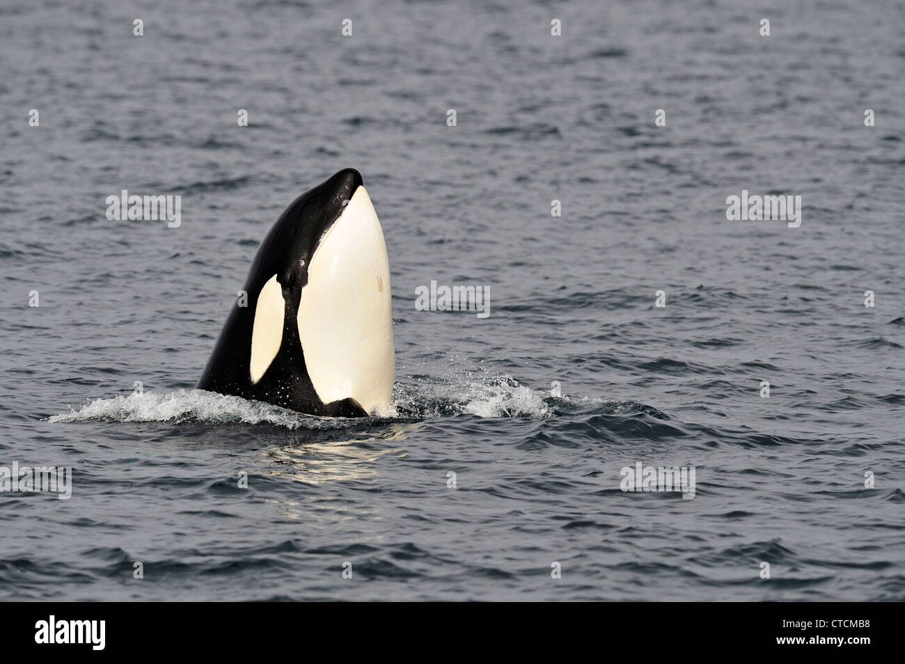 Killer whale (Orcinus orca) Spy-hopping Transient pod summer feeding territory, Johnstone Strait, Vancouver Island - Stock Image