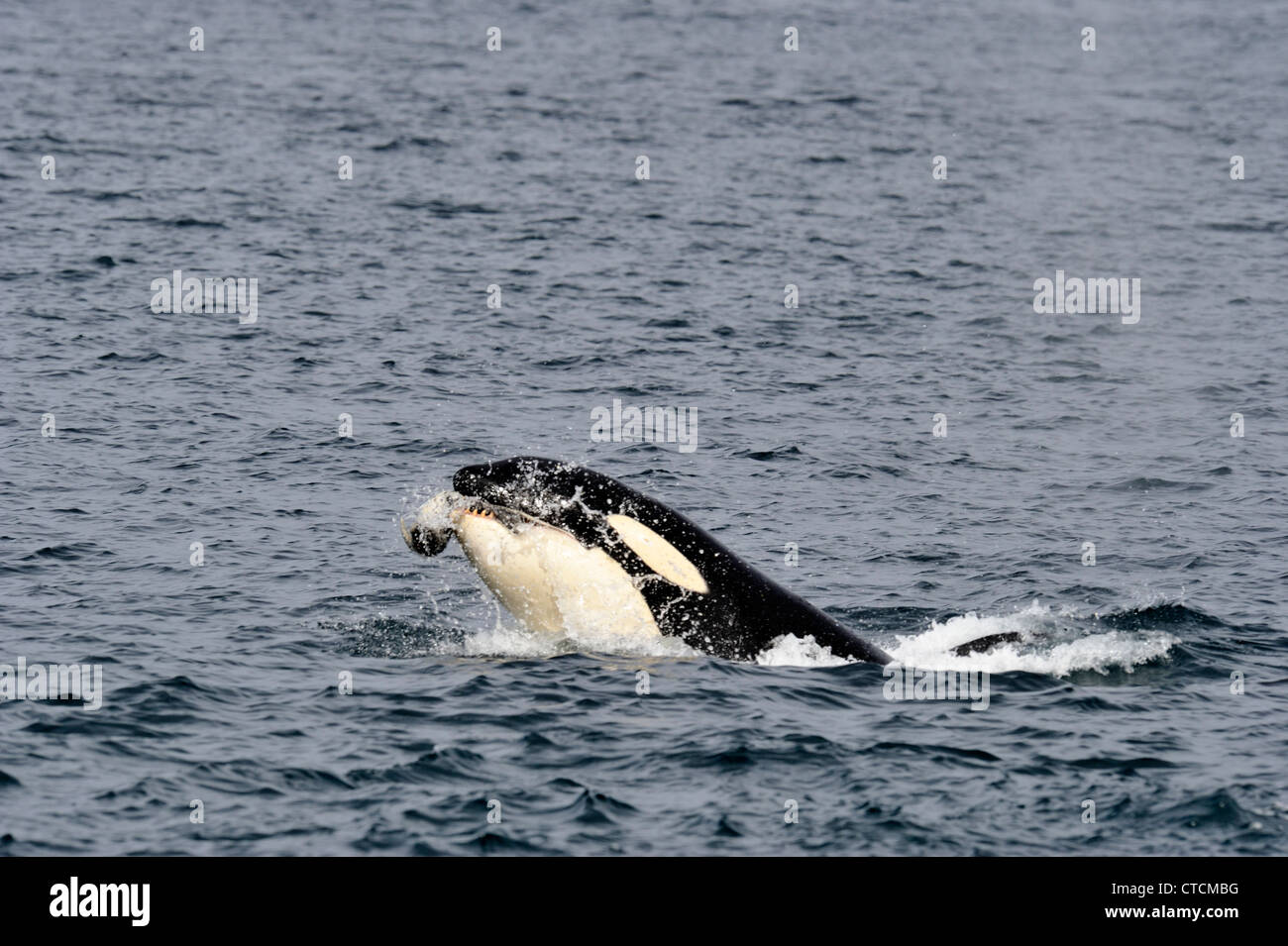 Killer whale (Orcinus orca) Spy-hopping Transient pod summer harbor seal feeding prey Johnstone Strait, Vancouver - Stock Image