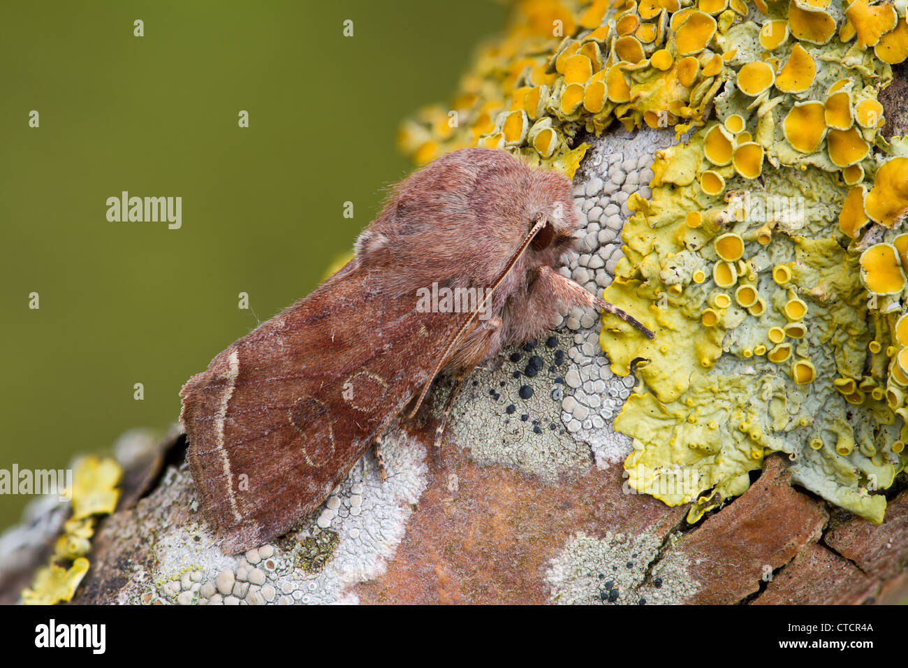 Clouded Drab moth, Orthosia incerta - Stock Image