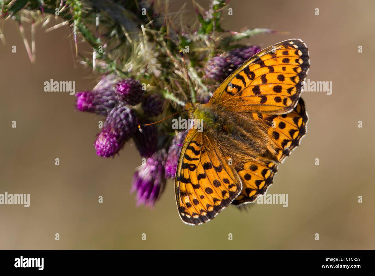 Dark Green Fritillary butterfly, Argynnis aglaja - Stock Image