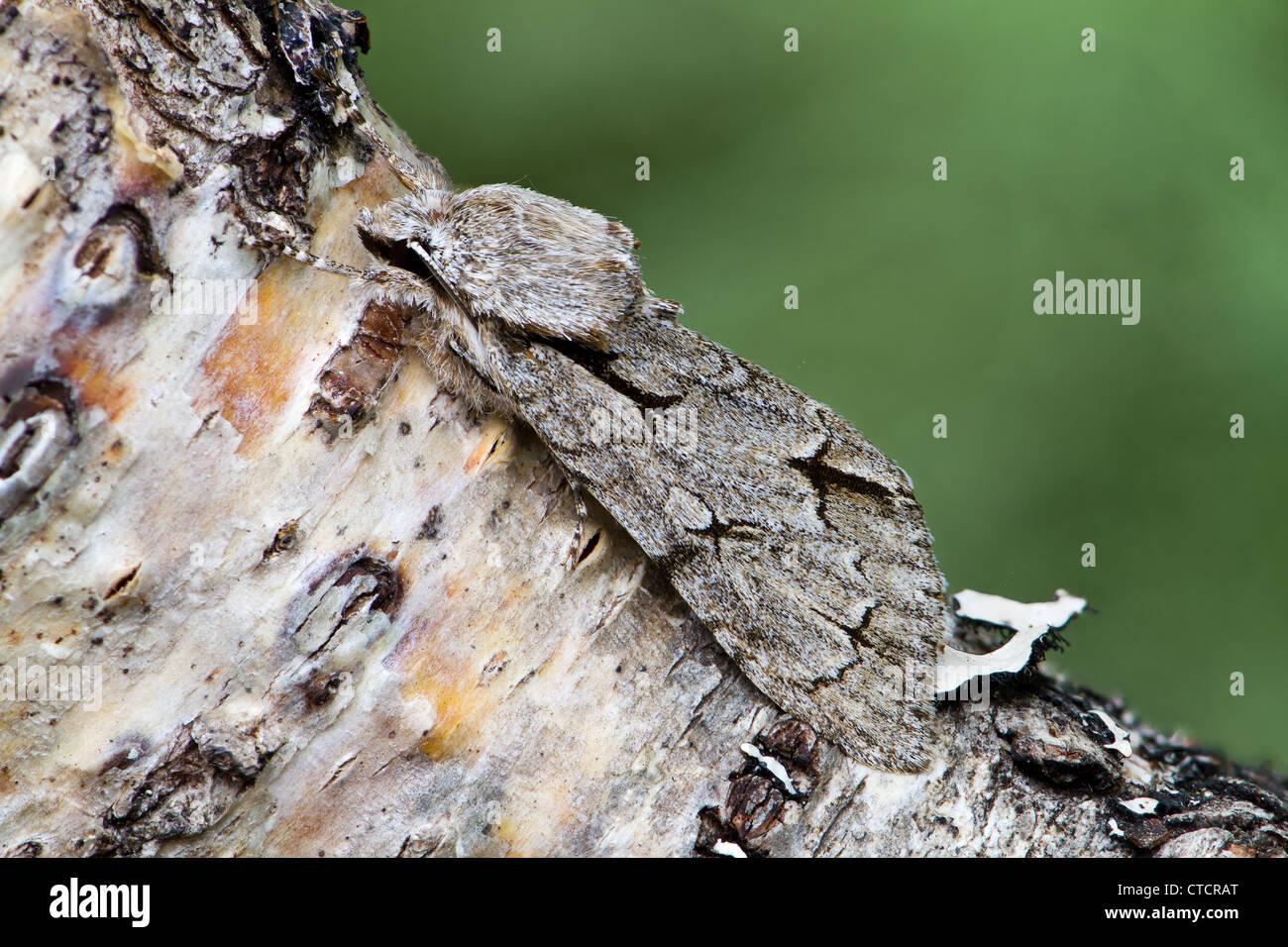 Grey Dagger moth, Acronicta psi Stock Photo