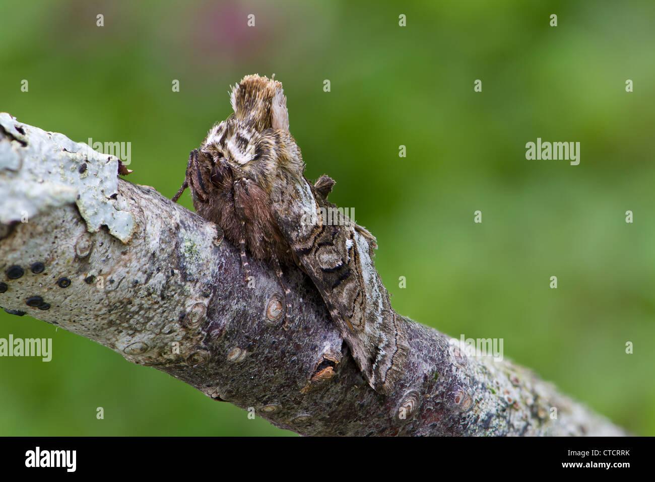 Spectacle moth, Abrostola tripartita - Stock Image