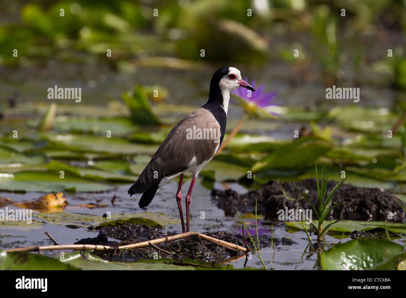 Long toed Plover (Vanellus crassirostris) in Mabamba Swamp, Uganda - Stock Image