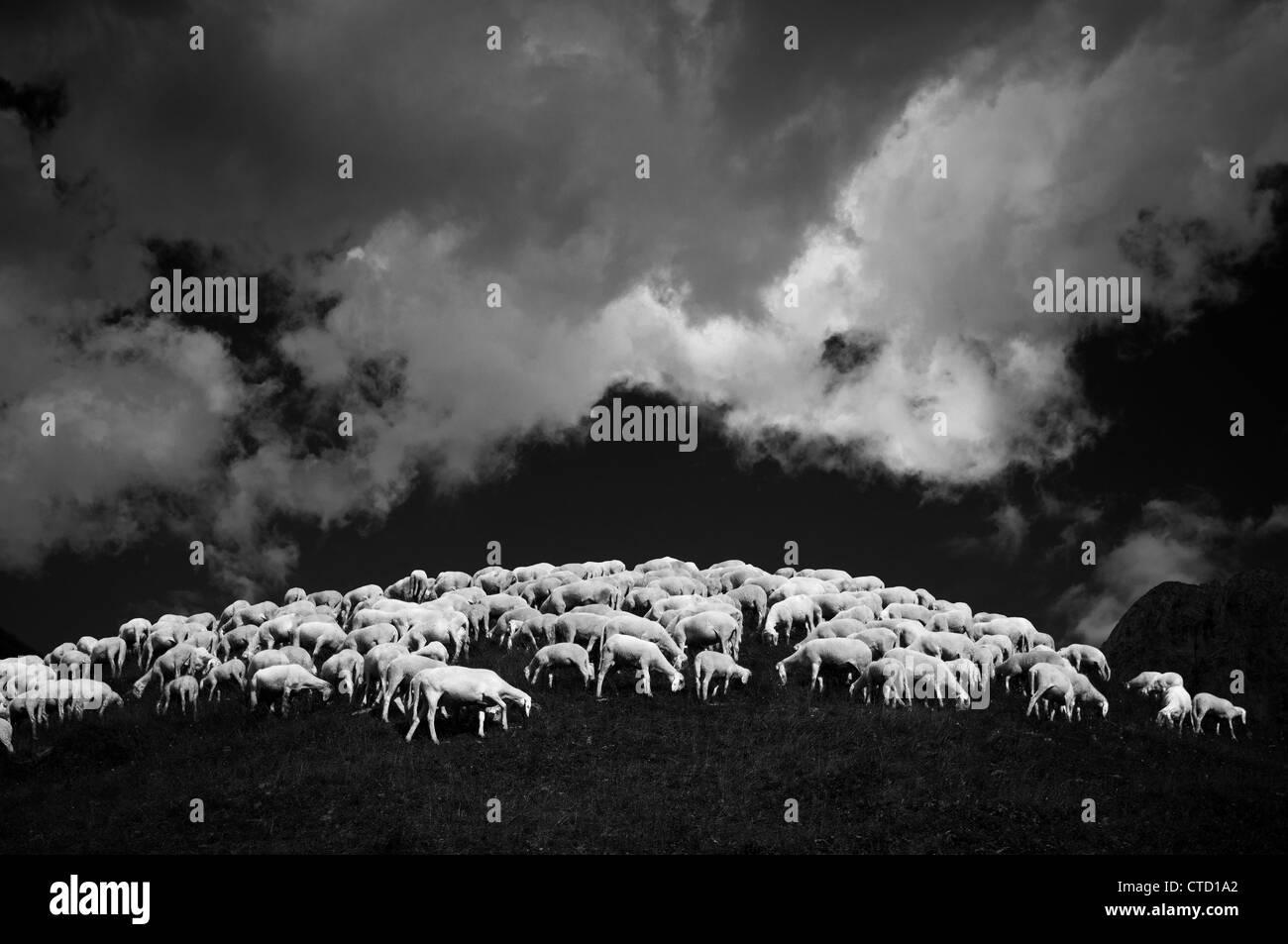 Flock of sheep on hillside - Stock Image