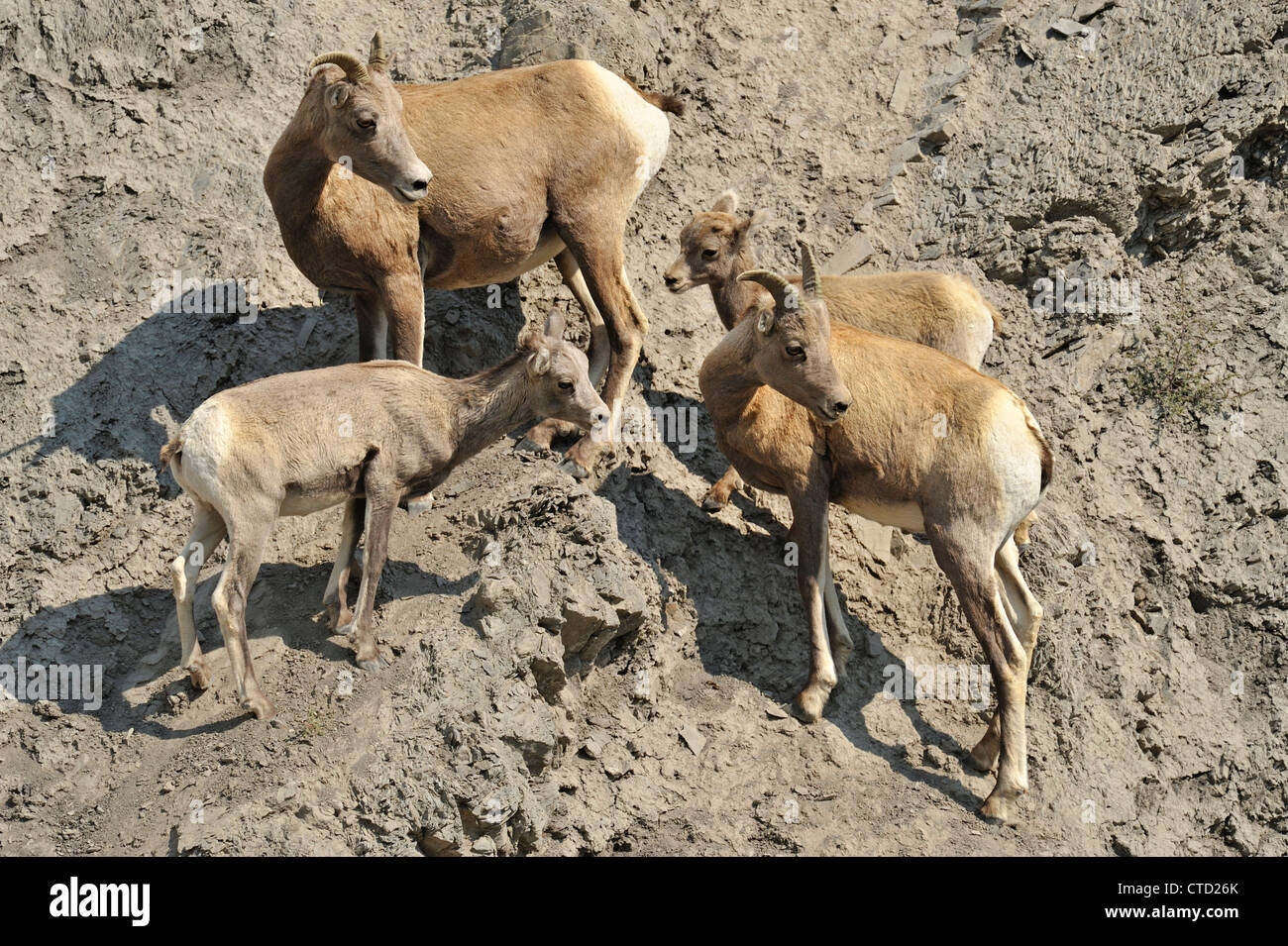 Bighorn sheep (Ovis canadensis) ewes and lambs in Gardner River valley, Yellowstone National Park, Montana, USA - Stock Image