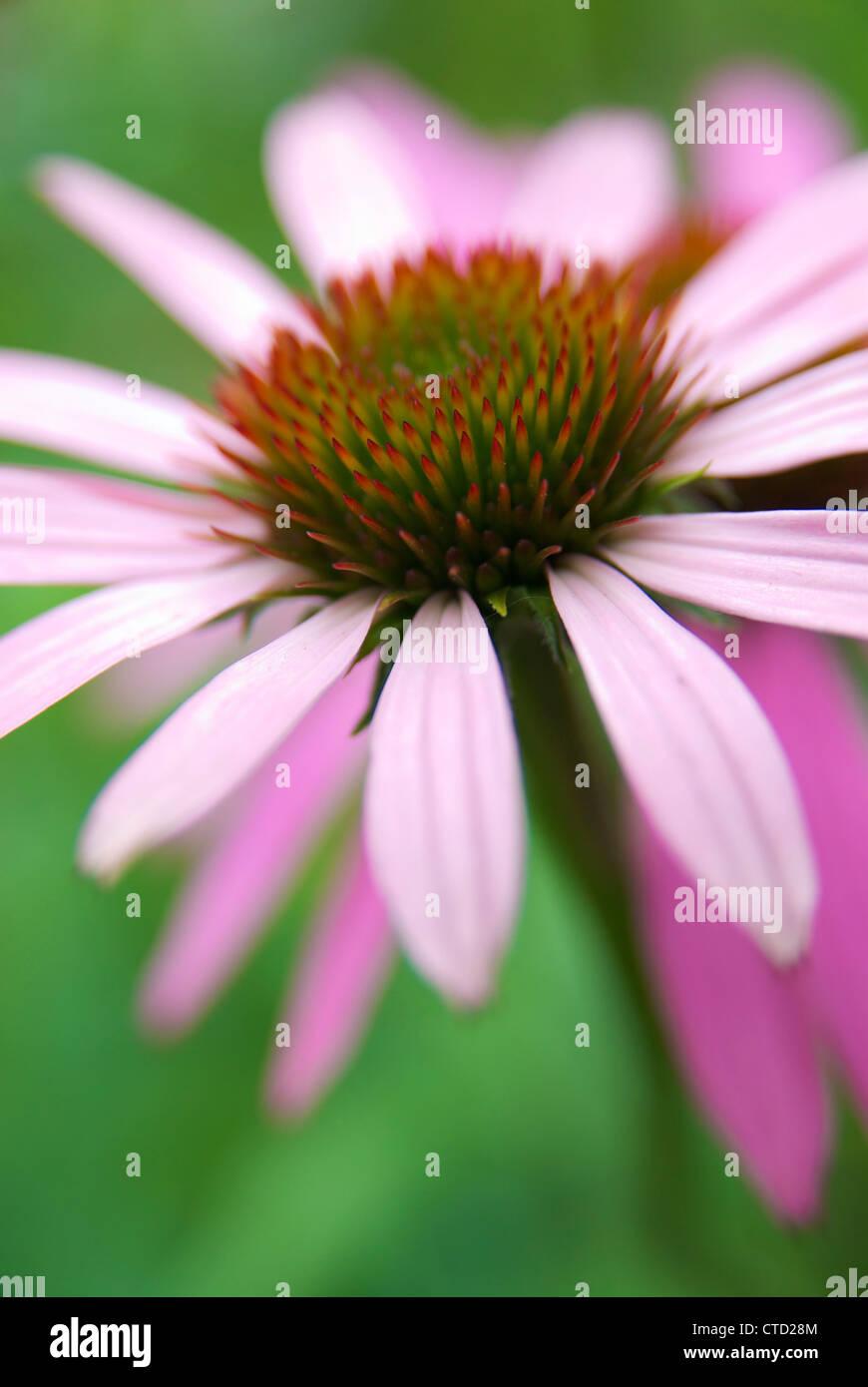 Flower head of an Eastern purple coneflower (Echinacea purpurea). - Stock Image