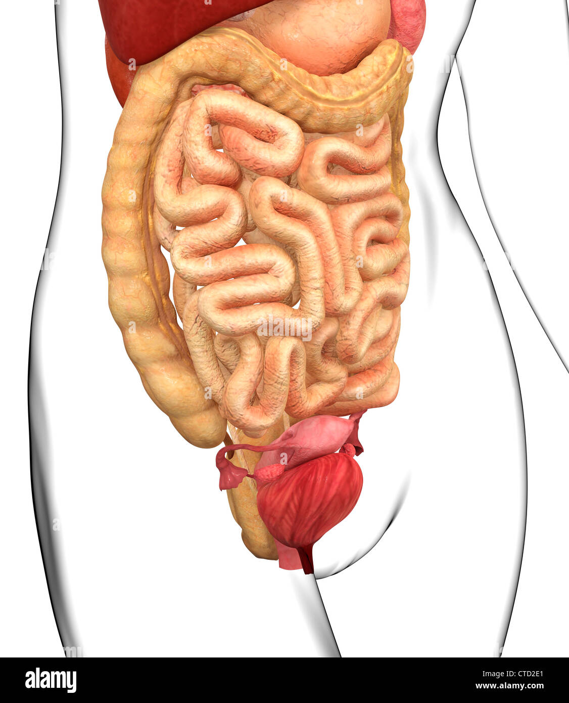 Female Abdominal Anatomy Stock Photos Female Abdominal Anatomy