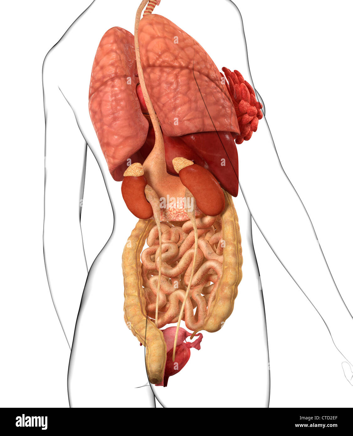Human Digestive Small Intestine Back Stock Photos & Human Digestive ...